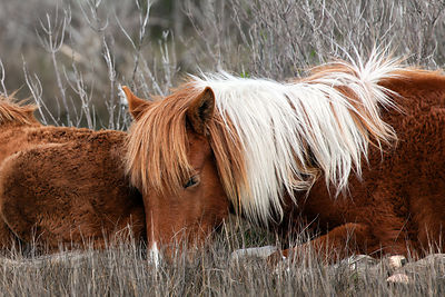 Two wild horse (Equus ferus caballus) yearlings (one year old) rest in strong winds in the wetlands of Sinepuxent Bay, Assate...