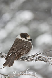 Gray Jay (Perisoreus canadensis) perched on a branch during a snowstorm on Hurricane Ridge, Olympic National Park, Olympic Pe...