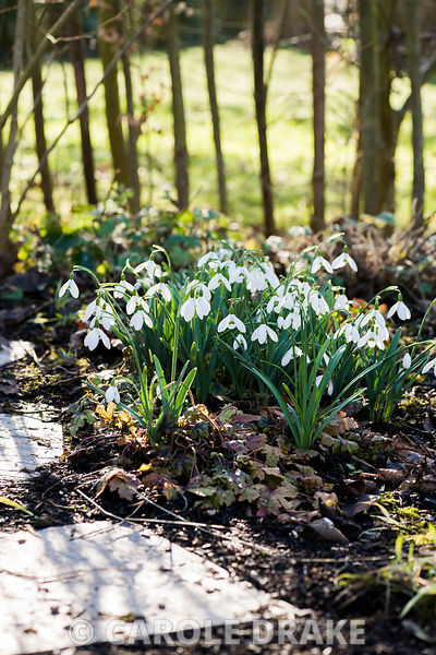 A clump of snowdrops near the garden fence.