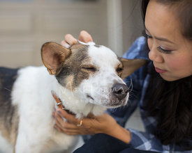 Cattle Dog Mix with Eyes Closed Being Petted by Young Asian Woman