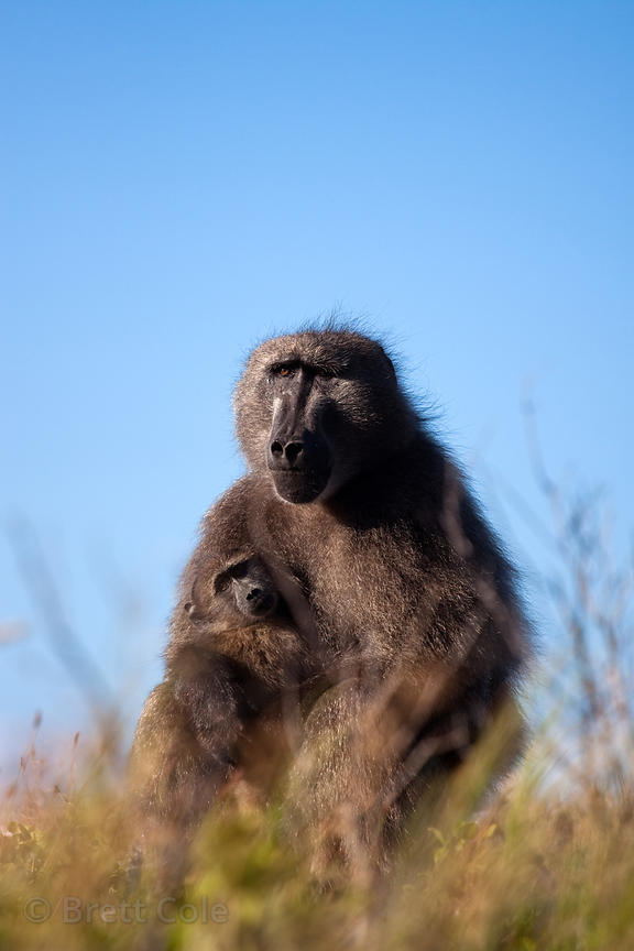 Chacma baboons from the De Gama Park troop in the Slangkop area of Table Mtn. National Park, Cape Peninsula, South Africa
