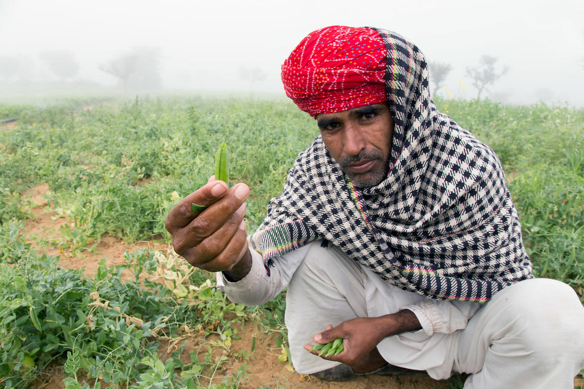 A farmer with his mutter (pea) crop, Nagaur village Rajasthan, India. Widely used in dishes like Mutter Paneer and Aloo Mutter.