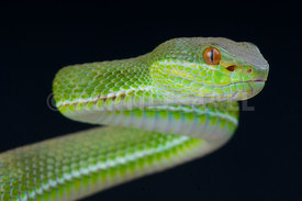 Trimeresurus stejnegeri, Chinese tree viper, China