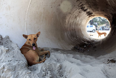 A steet dog rests in a concrete tube at a construction site, Nagwa Lanka, Varanasi, India