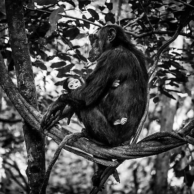 03999-Ape-Gorilla_in_Virunga_National_Park_Uganda_2018_Laurent_Baheux