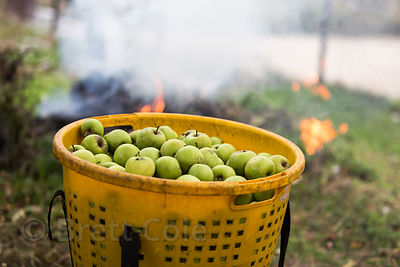 A basket full of apples on a farm in Manali, India. Apples are a major crop in the Manali-Kullu region.