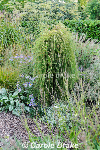 Larix decidua 'Puli' in the gravel garden surrounded by grasses, pulmonaria, bronze fennel and Aster x frikartii 'Monch'. Win...