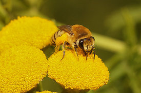 Colletes species on Tanacetum vulgare at Knokke