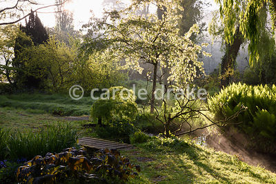 A blosoming cherry tree illuminated beside a stream running through the Jaqpanese garden at Heale House, Middle Woodford, Wil...