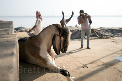 An Indian photographer shoots a very handsome goat, Assi Ghat, Varanasi, India