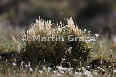 Fescue grass (Festuca sp), Patagonian Steppe, Region XII Magallanes y Antartica chilena, Chile