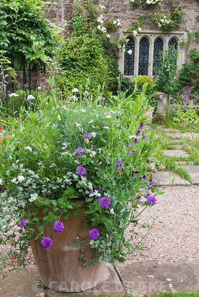 Planter on the terrace at Cothay Manor, Somerset filled with a frothy mix of verbenas, sweetpeas, Argyranthemum 'Chelsea Girl...