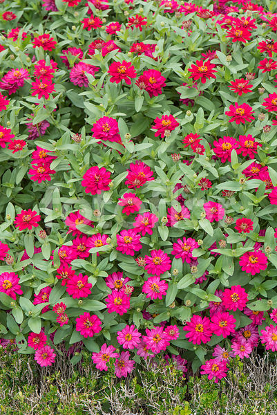 Zinnia Profusion Double Hot CHerry, zinnia, rouge