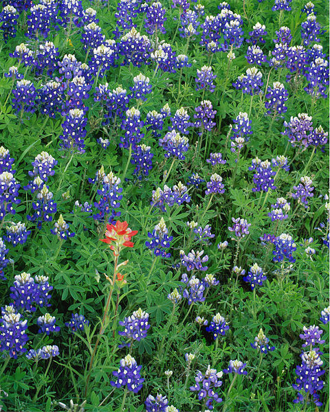 Bluebonnets and Lone Paintbrush