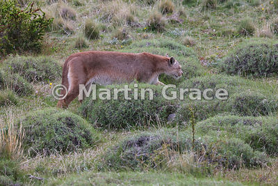 Female Patagonian Puma (Puma concolor patagonica) known as Hermanita, Torres del Paine, Patagonia, Chile