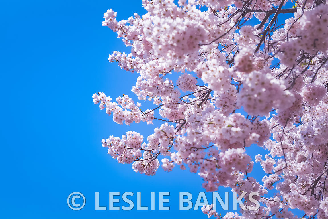 Pink Cherry Blossom Trees