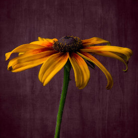 Rudbeckia Red background