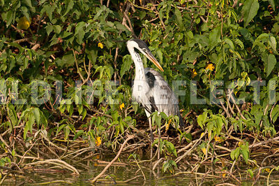 white_necked_heron_marsh-09021303