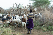 Karamojong boy herding livestock to the village, northern Uganda
