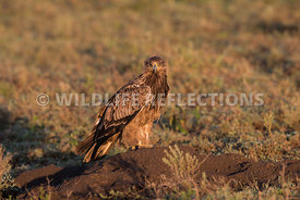 tawny_eagle_ground_02182015-2
