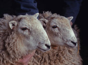 First cloned sheep