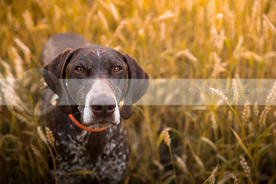 brown german shorthaired pointer dog staring upward in wheat