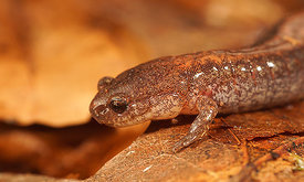 Red backed salamander - Plethodon cinereus