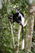 Black and white colobus, Colobus guereza, Maramagambo Forest, Queen Elizabeth NP, Uganda