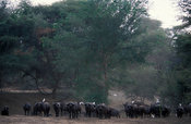 Herd of buffalo (Syncerus caffer) with cattle egrets, Lower Zambezi National Park, Zambia