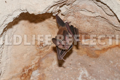 waterhouse_bat_hanging_38