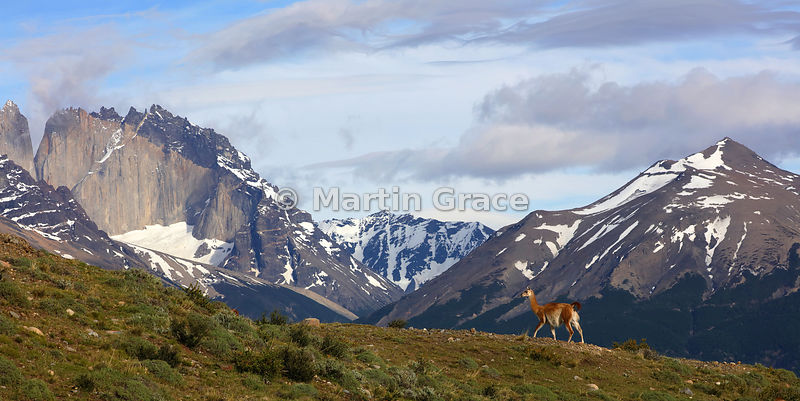 Guanaco (Lama guanicoe) with the backdrop of the Paine Massif, Estancia Laguna Amarga, Torres del Paine, Patagonia, Chile