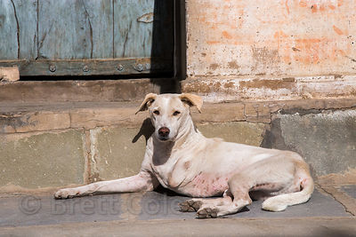 A street dog missing one leg in Pushkar, Rajasthan, India