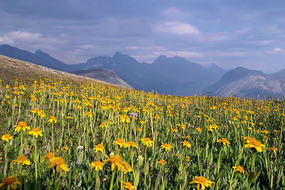 A patch of Heartleaf Arnica on Parker Ridge, illuminated by late light on a stormy day, Banff, Canadian Rockies