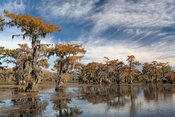 Colorful Cypress Trees in shallow lake during the fall.