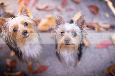 two little yorkie dogs looking upward with minimal background