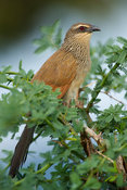 White-browed Coucal (Centropus superciliosus), Tsavo East National Park, Kenya