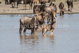 wildebeest_lake_crossing_sequence_02242015-15