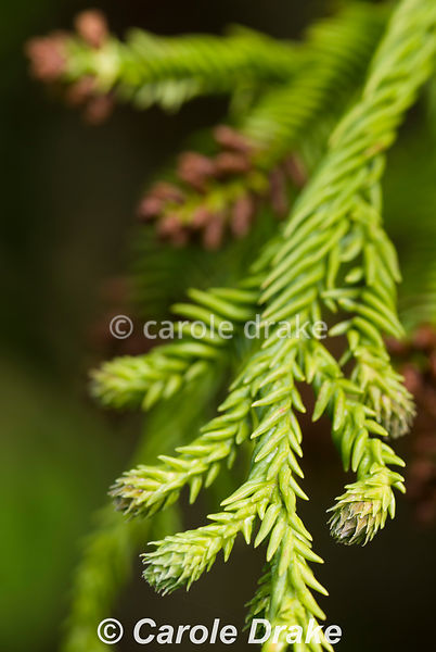 Cryptomeria japonica 'Rasen-sugi'. Sir Harold Hillier Gardens/Hampshire County Council, Romsey, Hants, UK