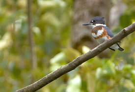 February - Belted Kingfisher