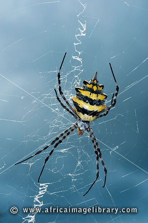 Garden orb spider (Argiope australis), Kruger National Park, South Africa