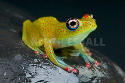 Red spotted tree frog (Boophis erythrodactylus)