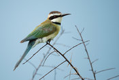 White-throated bee-eater, Merops albicollis, Ishasha sector in Queen Elizabeth National Park, Uganda