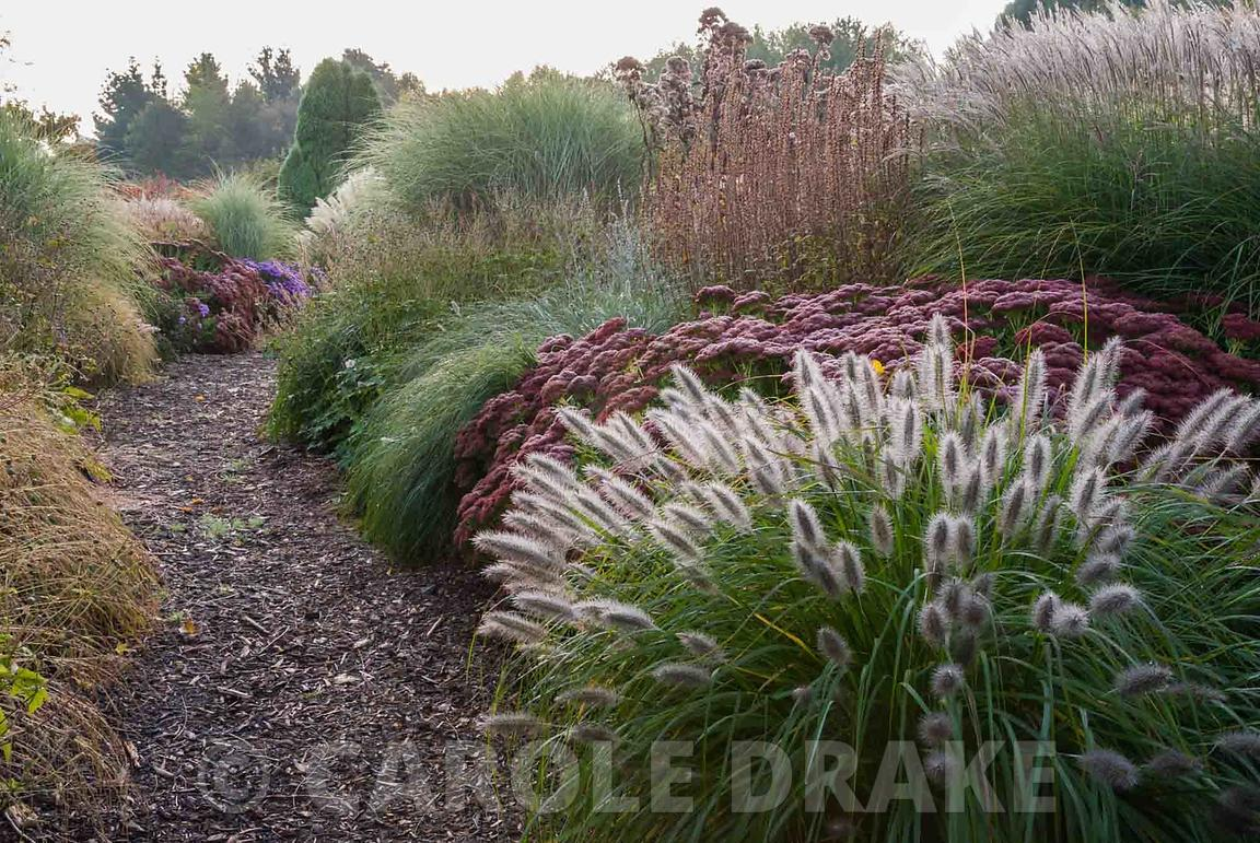 Recent planting combines grasses with bold perennials in colour themed borders of silver, cerise and purple. Pennisetum alope...