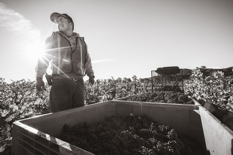 Grape harvest by hardworking Latino worker by Jason Tinacci