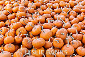 Miniature pumpkins background