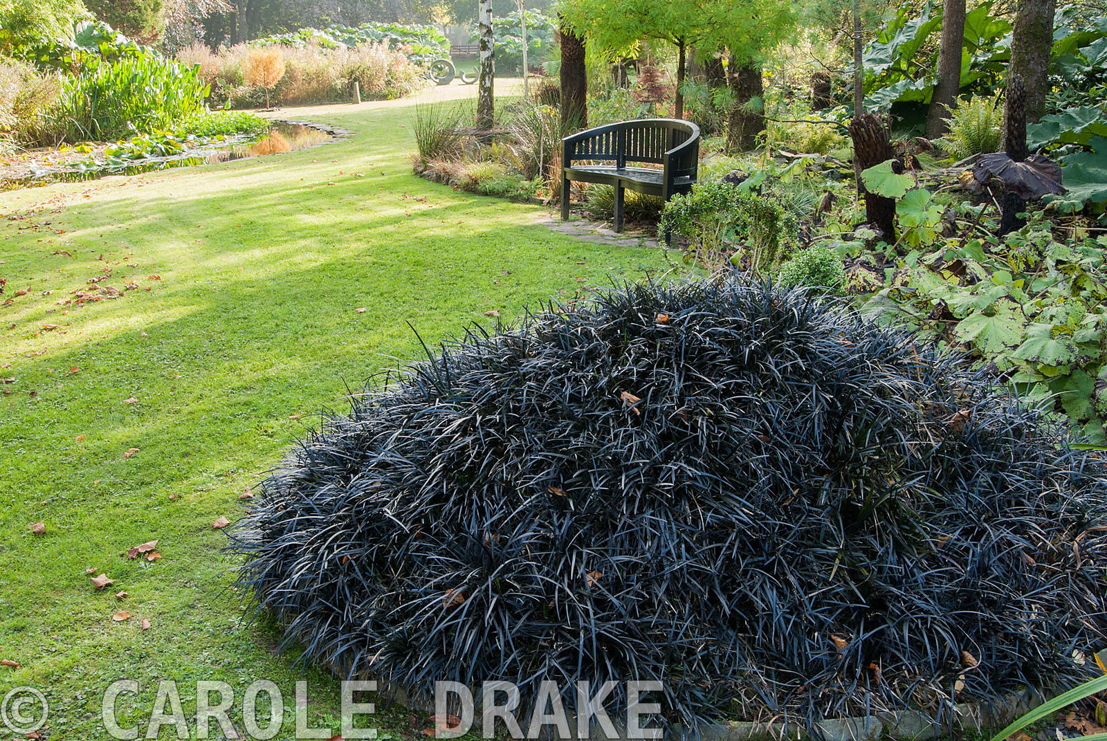 Mound covered with black Ophiopogon planiscapens 'Nigrescens' with mossy lawn, pond and orange yellow Metasequoia glyptostrob...
