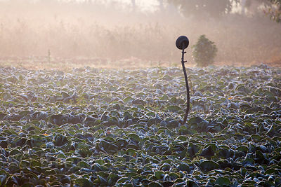 Cabbage farm at sunrise on a cold winter morning, Banseli village, Rajasthan, India