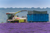 Harvesting lavender at Snowshill with a self propelled havester and trailer, in the Cotswolds, UK.