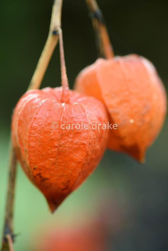 Orange seedpod of Physalis alkekengi