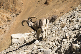 A mountain goat in Tibet.